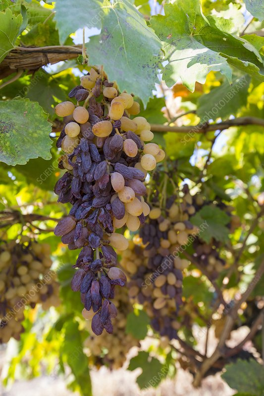 Grapes growing in Bakersfield