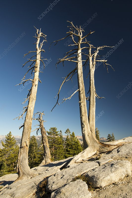 Dead trees on Sentinel Dome