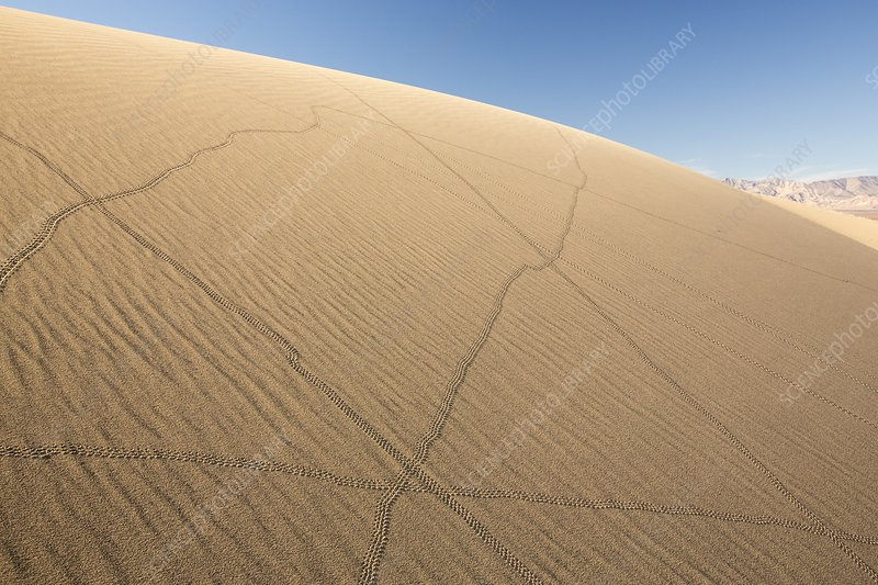 Lizard trails on Mesquite flat sand dunes