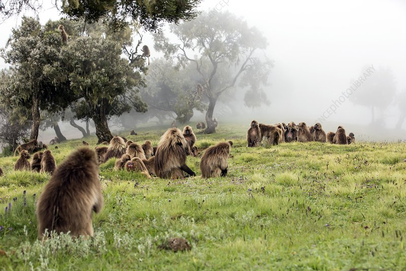 Grazing Gelada baboons in the mist