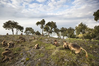 Grazing Gelada baboons at sunset
