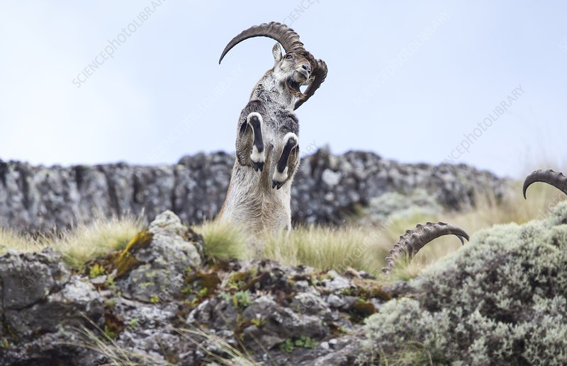 Walia ibex rearing up on hind legs