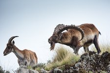 Male Walia Ibex checking a females odour