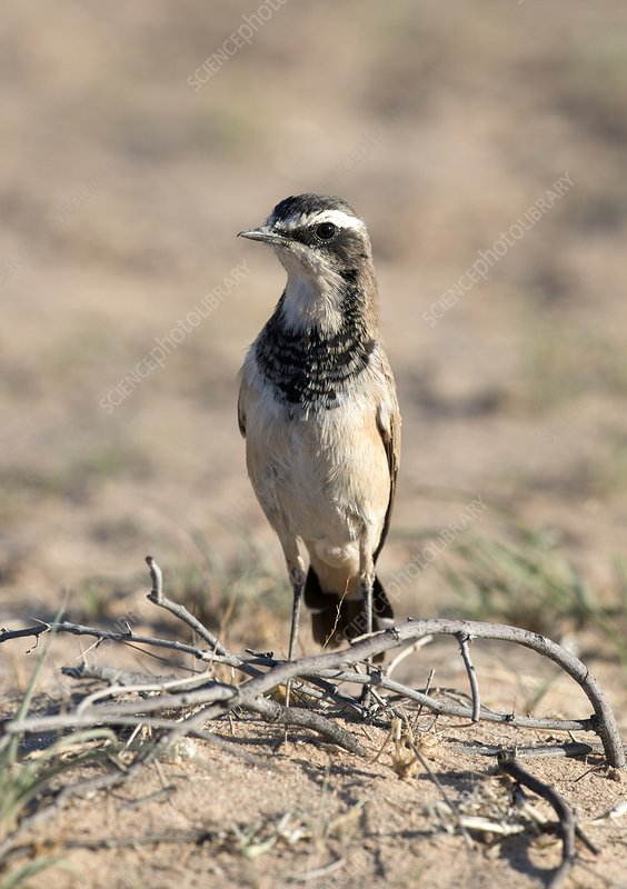Capped Wheatear