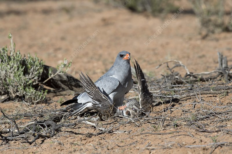 Pale Chanting Goshawk attacking an Owl