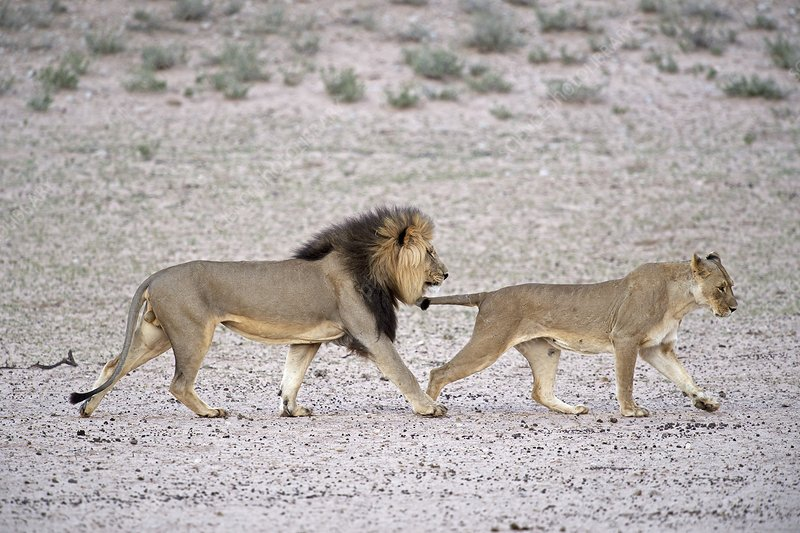 Male African lion with female in oestrus
