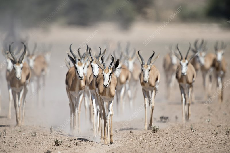 Springbuck herd moving to a waterhole