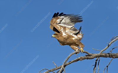 Tawny Eagle taking off
