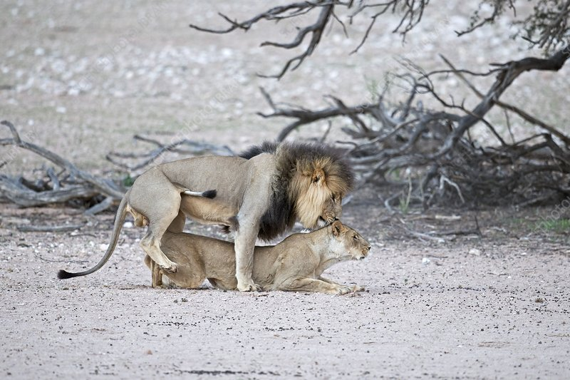 Mating African lions