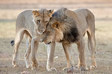 African lions showing affection