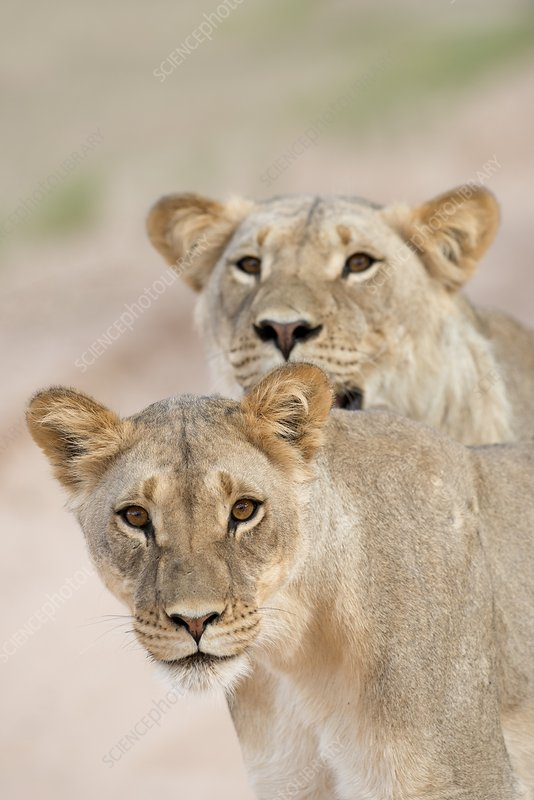 Young male lions without manes