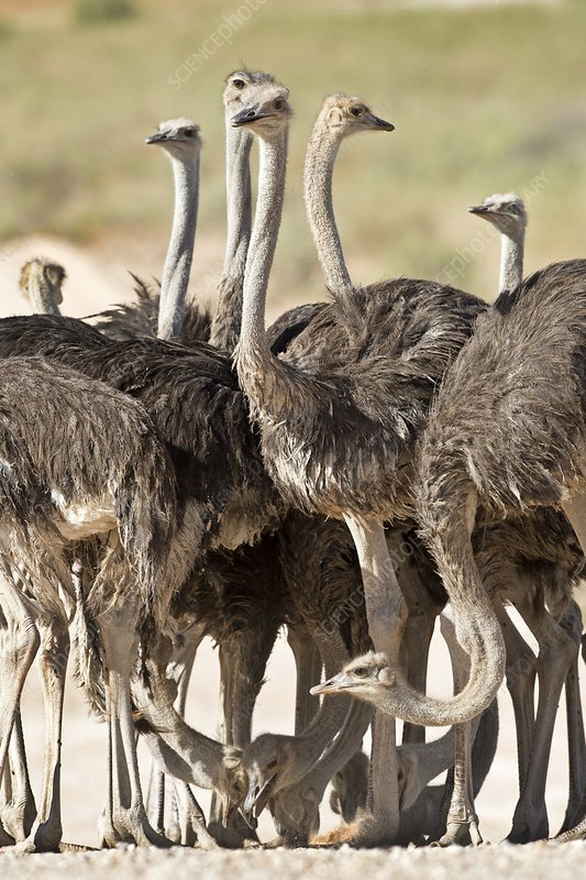 Southern Ostriches performing Geophagia