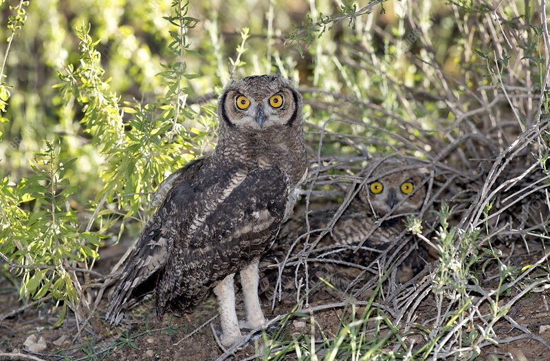 Immature Spotted Eagle Owls