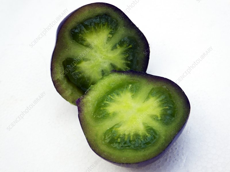Unripe black tomatoes (Indigo Rose)