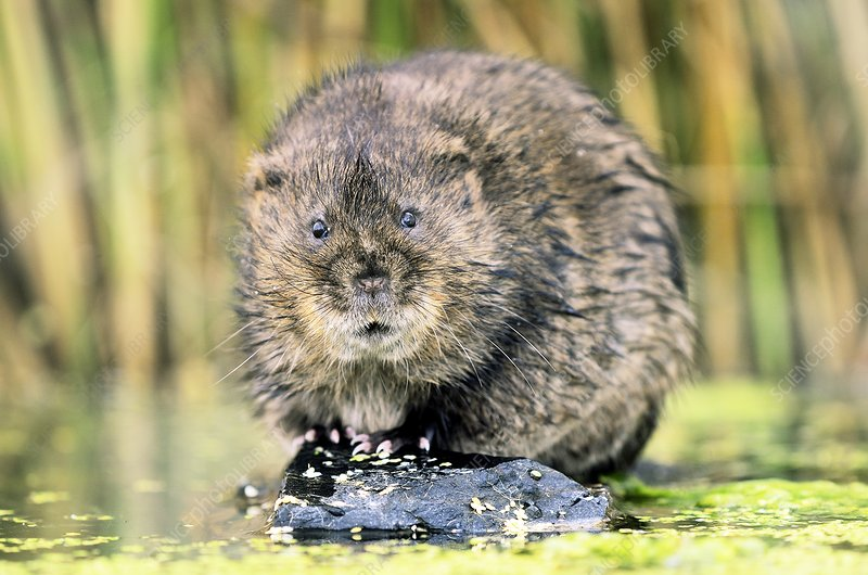 European water vole