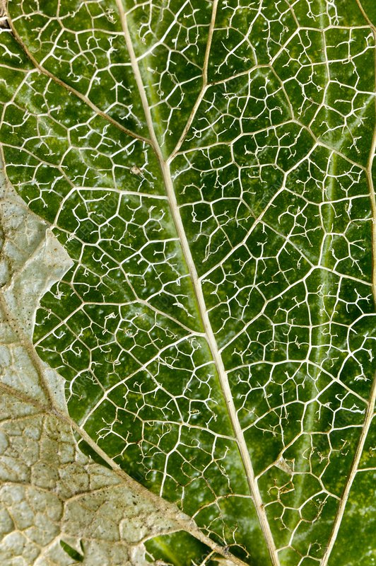 Leaf Skeleton of Ivy (Hedera helix)