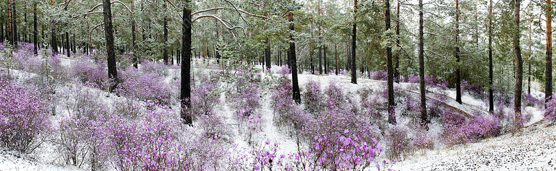 Rhododendrons in snowy woods
