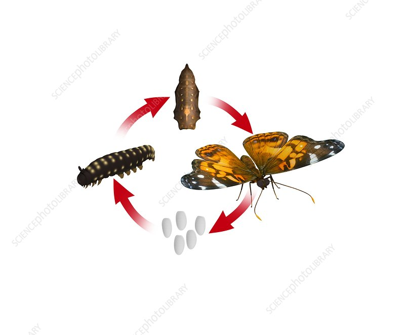 Complete metamorphosis, illustration