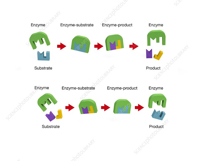 Enzyme action, illustration