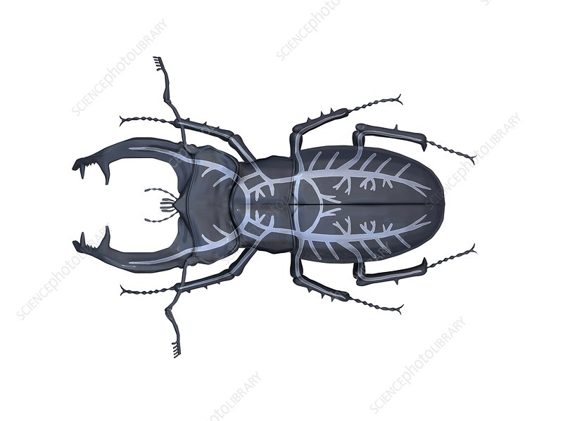 Stag beetle respiratory system