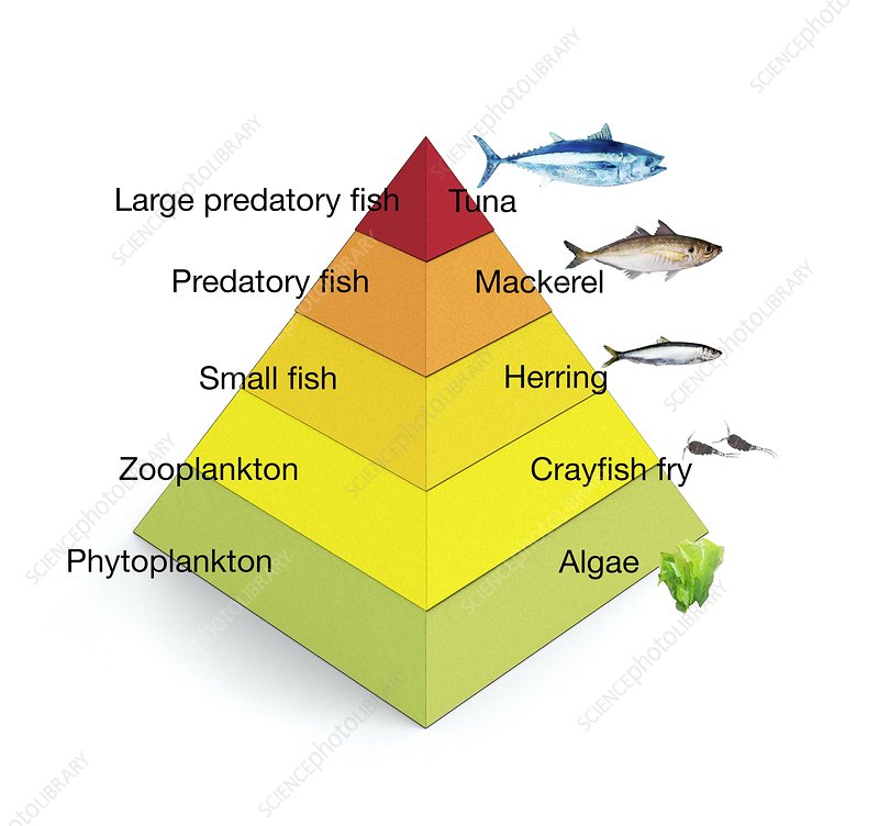 Trophic levels in the sea, illustration