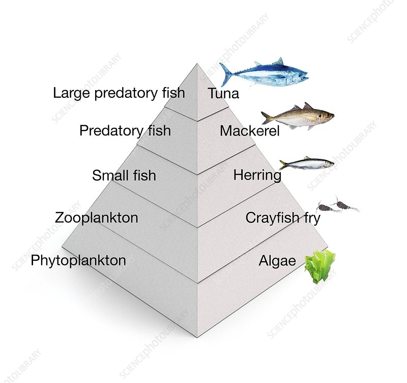 Trophic Levels In The Sea Illustration Stock Image C0246913