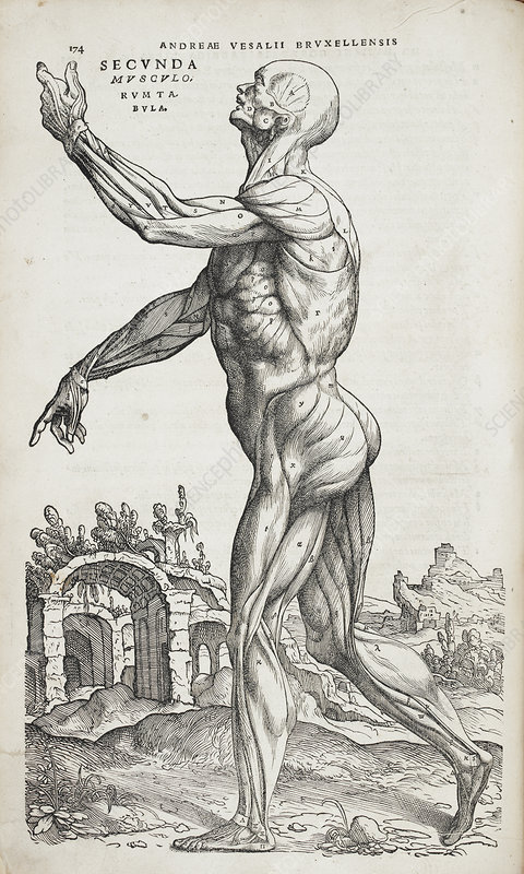 Human muscles, 16th Century illustration