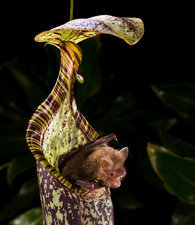 Hardwicke's Woolly Bat at Pitcher Plant