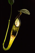 Hardwicke's Woolly Bat, Pitcher Plant