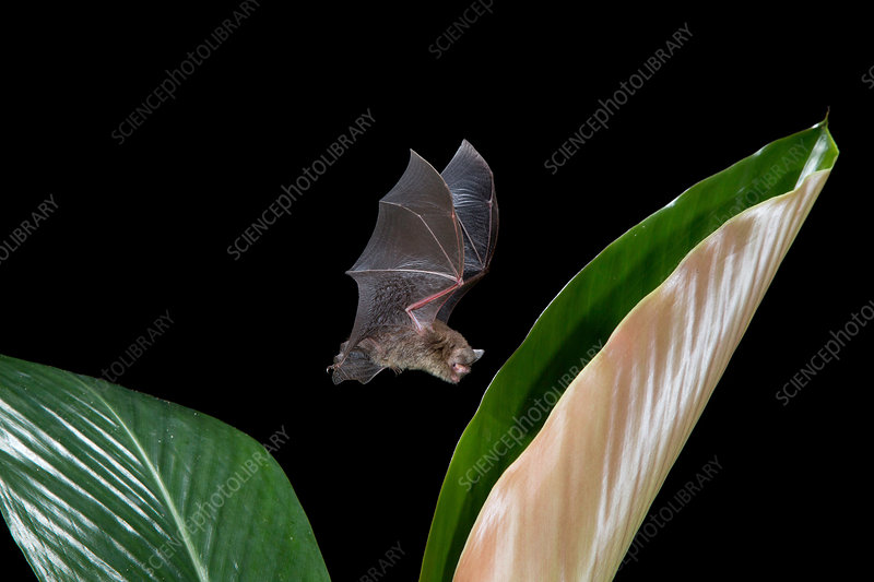 Hardwicke's Woolly Bat at Ginger Frond