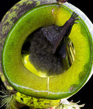 Hardwicke's Woolly Bat in Pitcher Plant