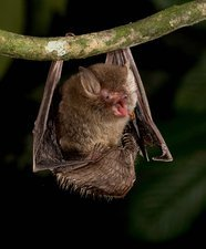 Hardwicke's woolly bat feeding