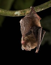 Hardwicke's woolly bat