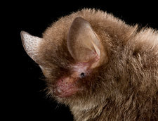 Hardwicke's Woolly Bat Portrait