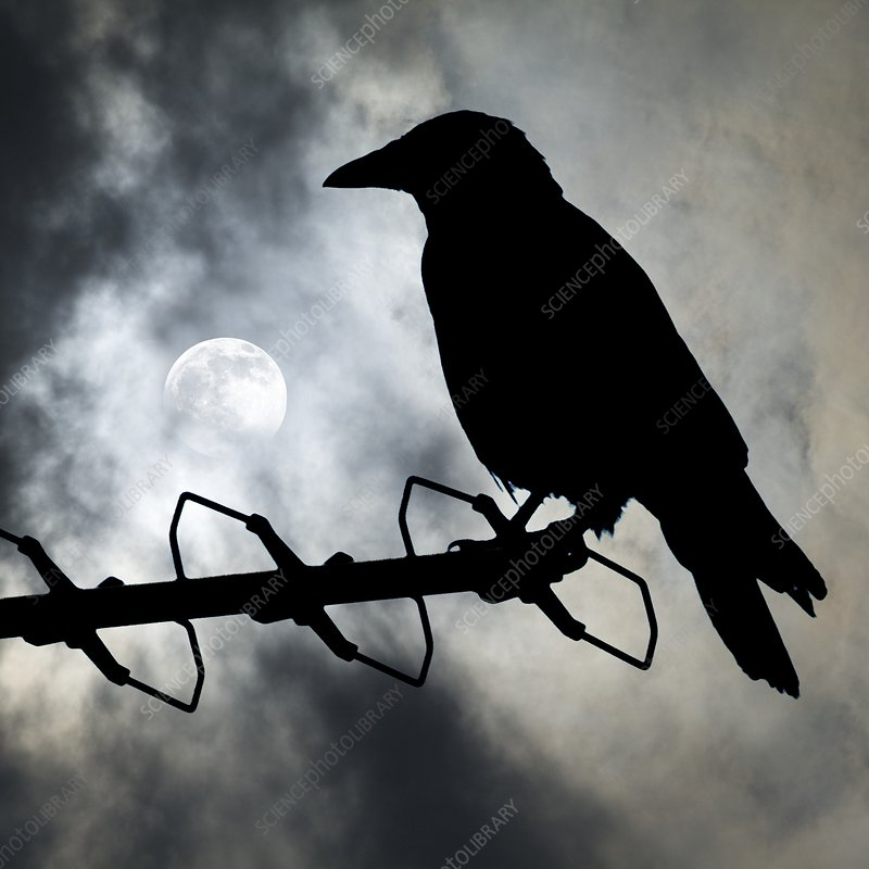 Crow against a moonlit sky