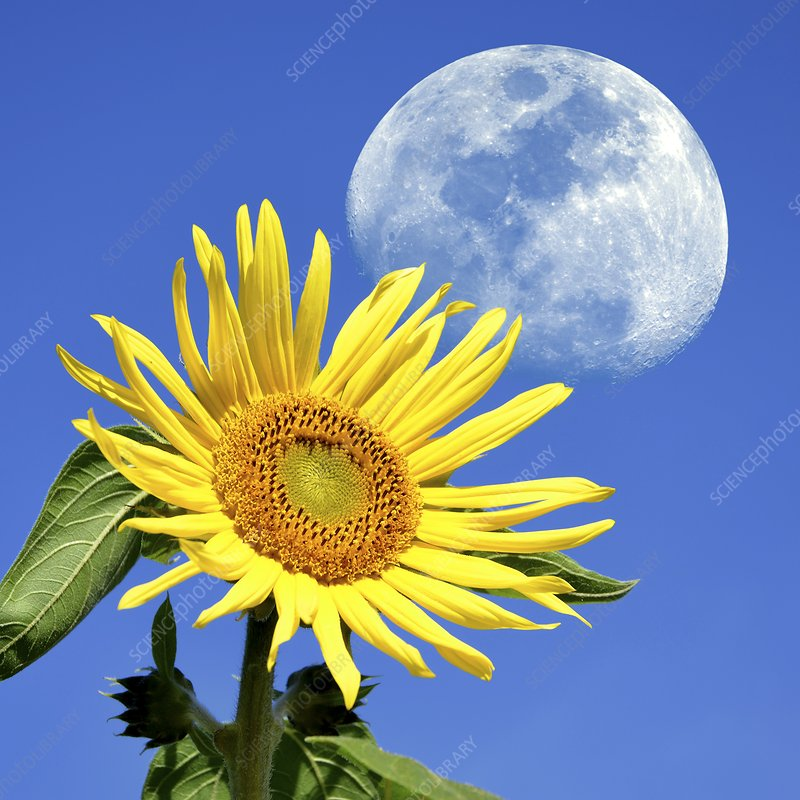 Moon and sunflower