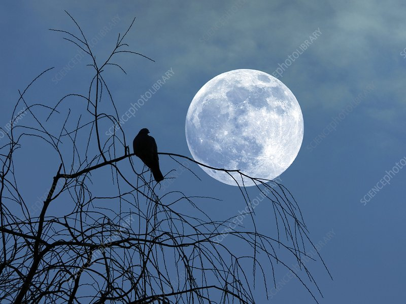 Dove against a full moon