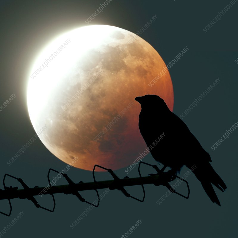 Crow and lunar eclipse