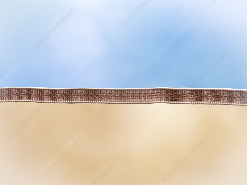 Lipid membrane, illustration