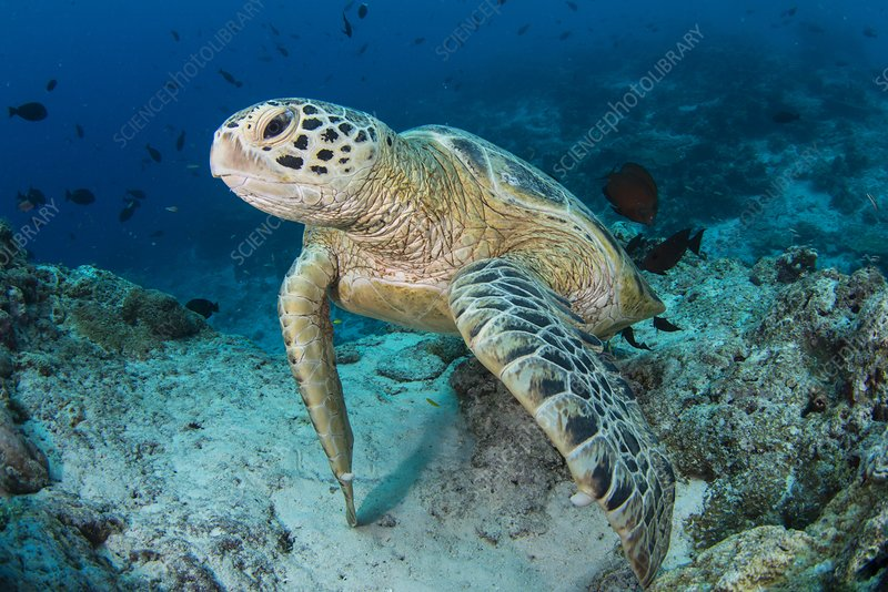 Green turtle resting on reef