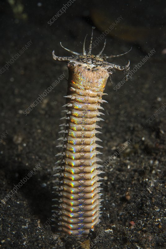 A bobbit worm in its burrow