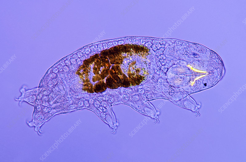 Tardigrade, light micrograph
