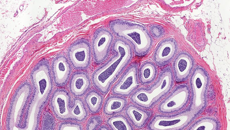 Epididymis, light micrograph
