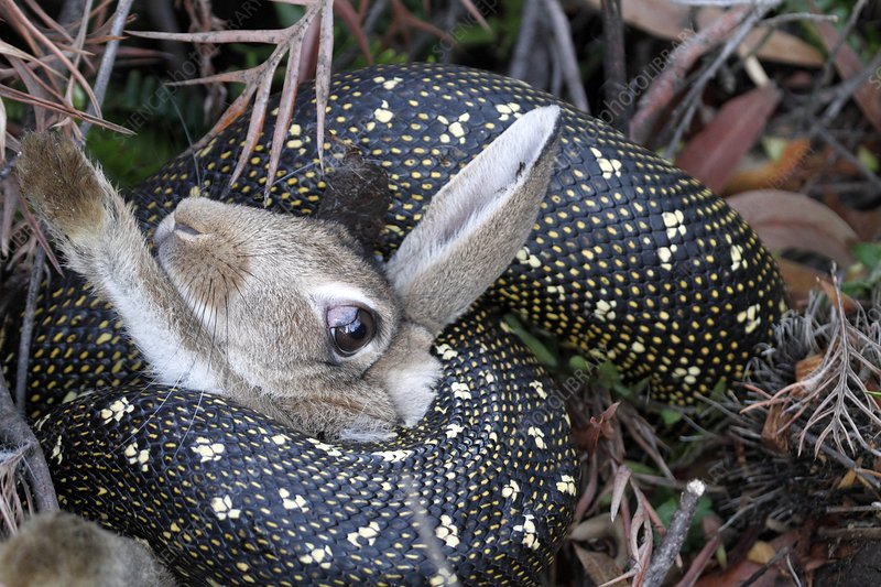 Python suffocating a rabbit