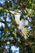 Greater sulphur-crested cockatoo