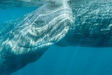 Whale Jack sperm