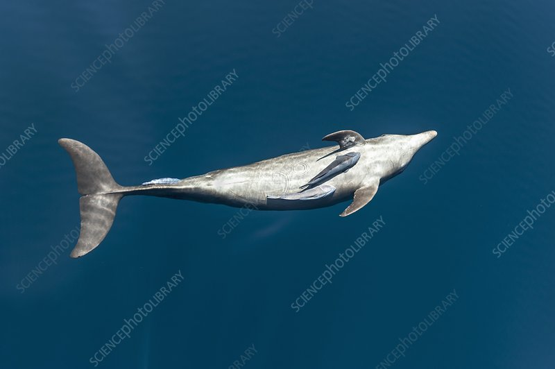 Bottlenose dolphin and remora
