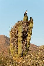 Osprey nesting in a cactus