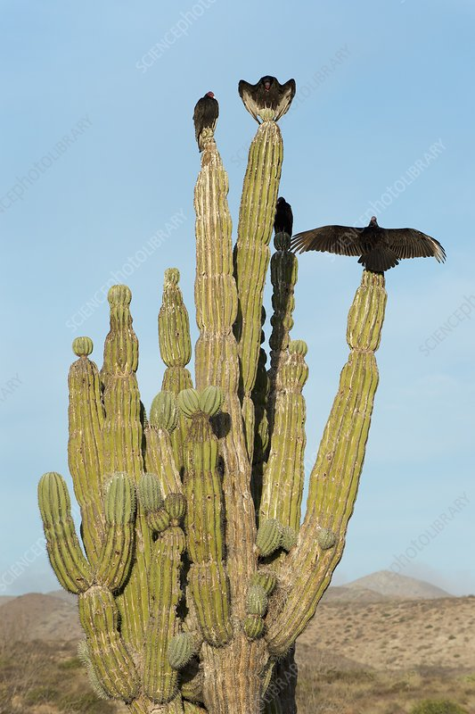 Vultures on a cactus