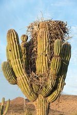 Osprey nest in a cactus